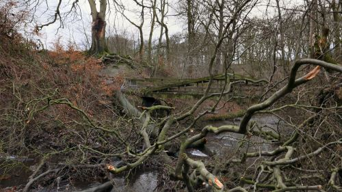 fallen beech tree