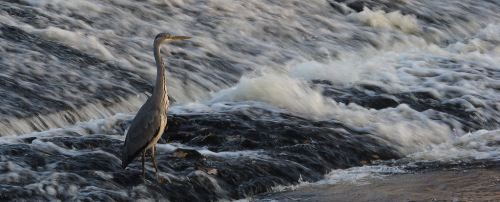 heron at stackhouse